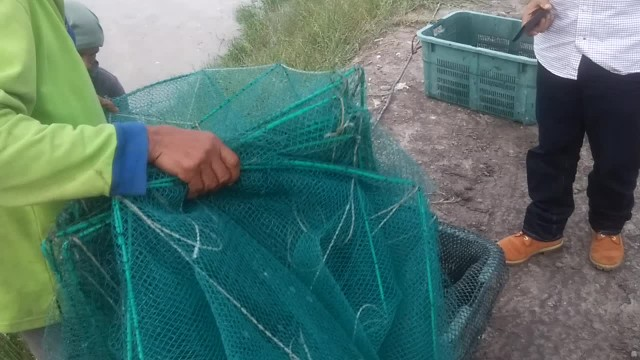 Shrimp harvesting from pond