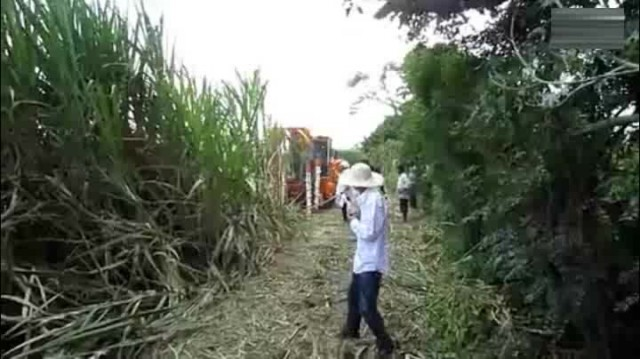 Combined sugarcane havester  demo on the farm