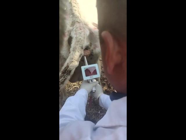 cow visual insemination thumbnail image